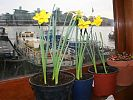 Daffodils in wheelhouse