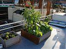 lettuce, spaghetti squash & tomatillos