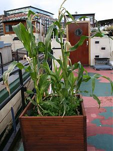 Corn growing on deck
